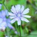 Chicorée / Chicory - Fleurs de bach
