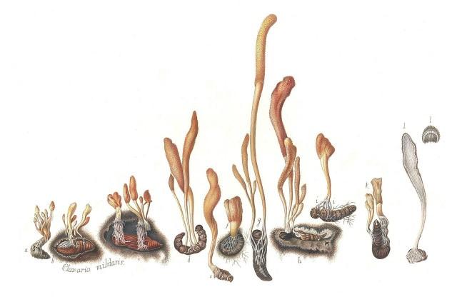 famille cordyceps