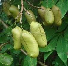 Griffonia-simplicifolia-infinie-sante