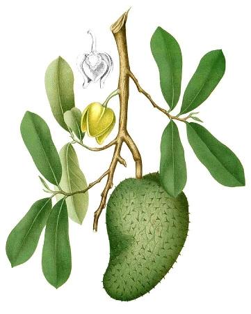 graviola corossol