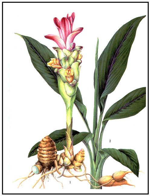 curcuma plantes